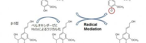 モノリグノール二量体の酵素的脱水素重合に関する研究