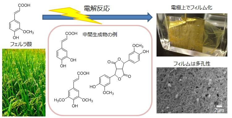 フェルラ酸の電解重合による新規ポリマーフィルムの創製