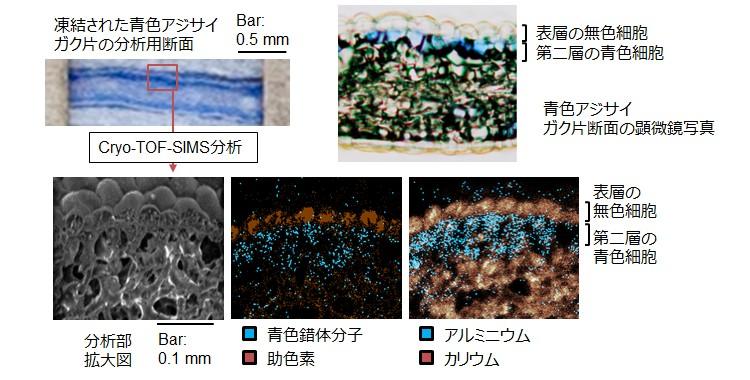 アジサイ青色色素錯体のダイレクトマッピング