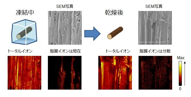 樹木内部における真の脂質分布の可視化